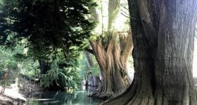 En esta ribera del Río Blanco, hay alrededor de 800 ejemplares de Ahuehuete, un árbol muy longevo que dura mucho tiempo en alcanzar su edad adulta